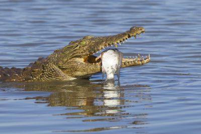 Krokodil - iSimagaliso Wetland Park - Suedafrika