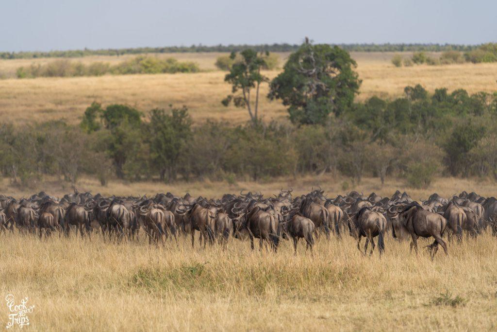 Zentrale Serengeti - Gnuherde