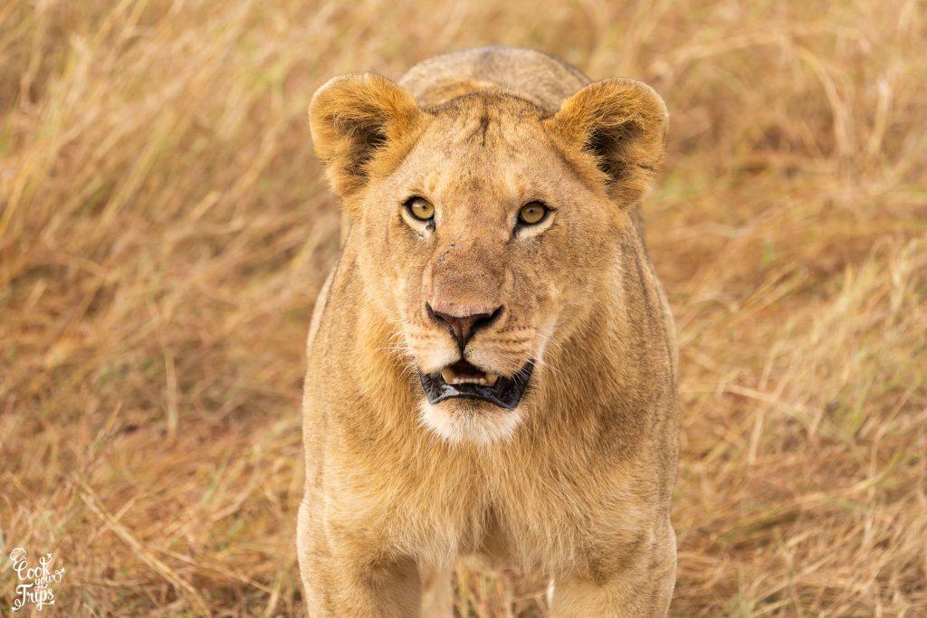 zentrale Serengeti - Löwe