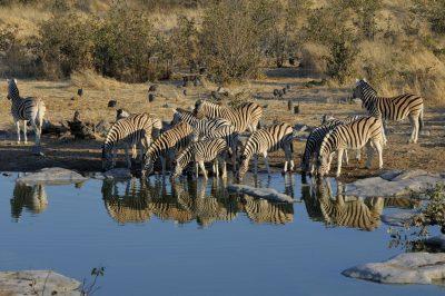 Zebras am Wasserloch im Etosha National Park - Namibia