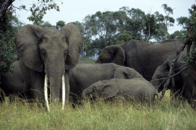 Elefanten - Tsavo West - Kenia