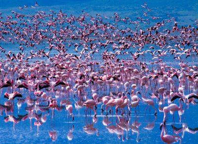 Flamingos im See - Lake Nakuru National Park Kenia