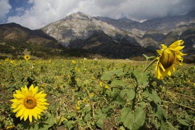 Sonnenblumen - Kirgistan