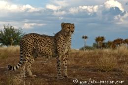 Gepard - ©www.foto-passion.com