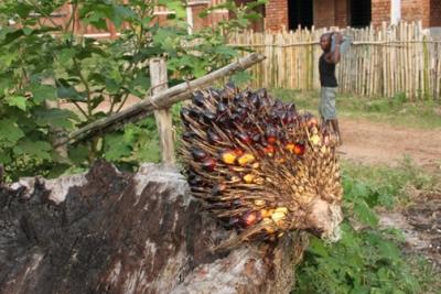 kongolesische Litschi