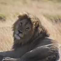 Löwe in Kenia - www.beckoetter.de