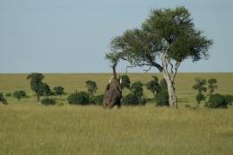 Masai Mara Nationalpark ©  Karl Scheliessnig<br /><br /><br />             www.scheliessnig.at