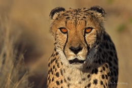 Gepard: Namibia Nationalparks