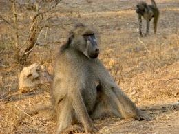 diebische Affen