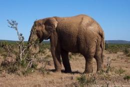 Elefant im Elephant Nationalpark in Südafrika