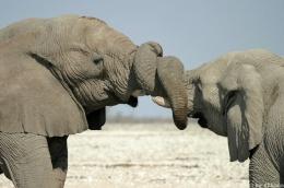 Afrikanische Elefanten mit umschlungenen Rüsseln!