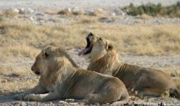 Löwen - gehören auch zu den Big Five