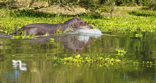 Ein Flusspferd in Malawi