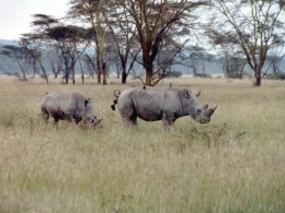 Breitmaulsnashörner im Lake Nakuru Reservat