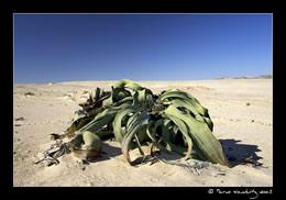 Welwitschia Mirabilis © Marco Woschitz www.woschitz.net