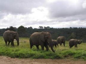 Knysna Elefant ©Andre    www.bochum1.de