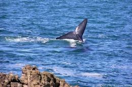 Whale Watching, Südafrika